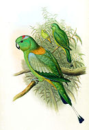 Drawing of two green parrots, one with orange shoulders and a blue and red crown