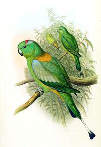 Prioniturus platurus