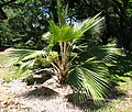 Pritchardia napaliensis (4994352444).jpg