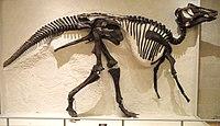Prosaurolophus maximus, Red Deer River, Alberta, collected 1921 by Levi Sternberg - Royal Ontario Museum - DSC09845.JPG