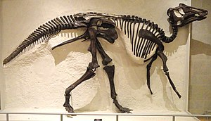 Prosaurolophus - P. maximus specimen collected 1921, Royal Ontario Museum