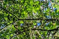 Prumnopitys ferruginea in Mount Aspiring National Park 02.jpg