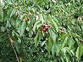 Prunus avium fruit1.jpg