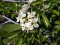 Prunus emarginata emarginata-5-25-04.jpg