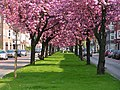 Prunus kapteynlaan.jpg