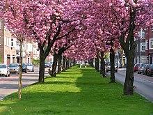 Cerisier wikip dia - Comment faire fuir les oiseaux des cerisiers ...
