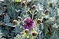 Psephellus pulcherrimus 15-05-2009 15-13-17.JPG