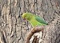 Psittacula krameri Agra.jpg