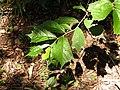 Pterospermum reticulatum-1-sengaltheri-tirunelveli-India.jpg
