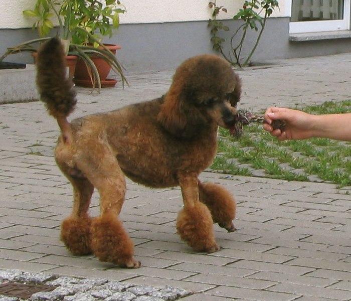 Image Result For Red Poodles For
