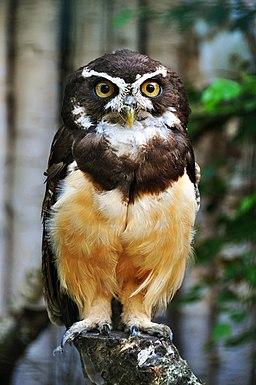 aves del amazonas: Lechuzon de anteojos