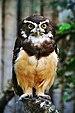 Pulsatrix perspicillata - Weltvogelpark Walsrode 2010.jpg