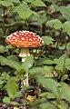 Punane kärbseseen - Amanita muscaria (2).jpg
