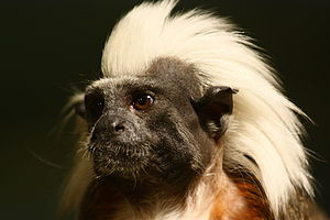 "Cotton-top tamarin - The white hair on the back of the head and neck inspire its common name, ""cotton-top""."