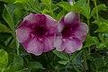 Purple Alamanda-1 (12139763884).jpg