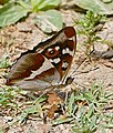 Purple Emperor (Apatura iris) male (35124384190).jpg