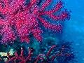 Purple gorgonian polyps.jpg