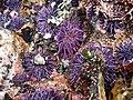 Purple sea urchin (42974674532).jpg