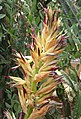 Puya glabrescens flower2.jpg