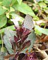 Pygmy Grass Blue Zizula hylax pygmaea photo taken at Singapore DSCF7279 (5).JPG