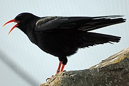 Pyrrhocorax pyrrhocorax -Living Coasts, Devon, England-8a.jpg