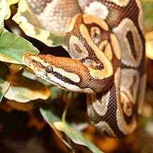 Togo-Ambiente-Python royal 35