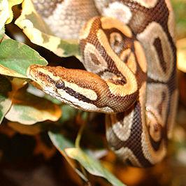 Koningspython (Python regius)