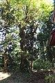 Quercus crispula in Okumiya of Hakusan-sha (Kamiiida, Iida).jpg