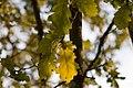 Quercus petraea - Leaves.jpg