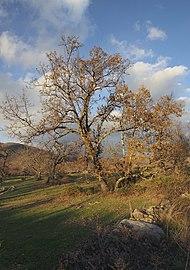 Quercus pyrenaica 20131228.jpg