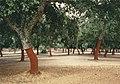 Quercus suber dehesa.jpg
