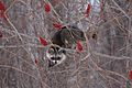 Raccoon (3484199920).jpg
