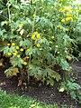 Ranunculus acris 'Multiplex' Nappiniittyleinikki H5686 C.jpg
