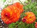 Ranunculus asiaticus01.jpg