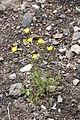 Ranunculus tuberosus in Jardin Botanique de l'Aubrac.jpg