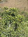 Rapanea melanophloeos, blaarkruin, Louwsburg.jpg