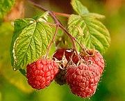 الفواكه 180px-Raspberries_%28Rubus_Idaeus%29