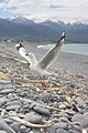 Red-billed Gull, Kaikoura, New Zealand.jpg