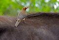 Red-billed Oxpecker (Buphagus erythrorhynchus) on buffalo (11492635206).jpg