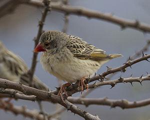 Red-billed quelea - Non-breeding plumage