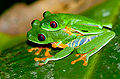 Red-eyed Tree Frog (Agalychnis callidryas) mating pair.jpg