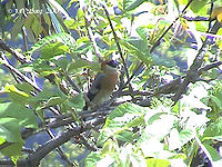 Red-headed Bullfinch O DSC05455