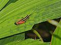 Red-thigh Grasshopper (Traulia sp.) (8093464272).jpg
