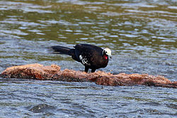 Red-throated piping guan (Pipile cujubi).JPG