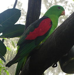 Red-winged parrot.JPG