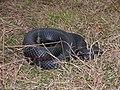 Red Belly Black Snake - panoramio.jpg