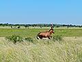Red Hartebeest (Alcelaphus buselaphus) (7021430363).jpg