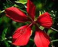 Red Hibiscus (5816442607).jpg