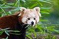 Red Panda (36790380744).jpg