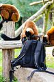 Red Ruffed Lemur (21393235489).jpg
